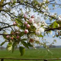 Ein blühender Kirschbaum auf einer Wiese